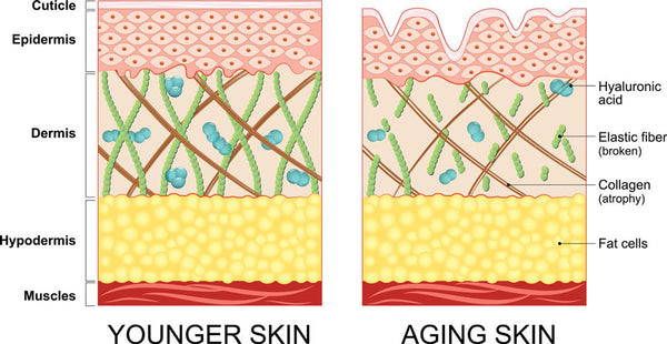 Younger vs older skin comparison