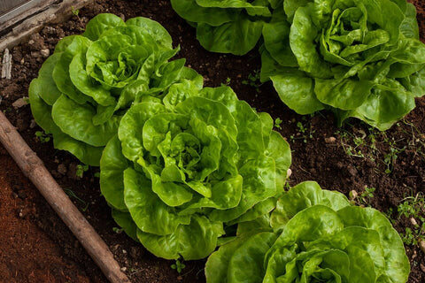 Growing Lettuce at Home