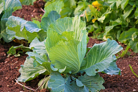 Growing Cabbage at Home