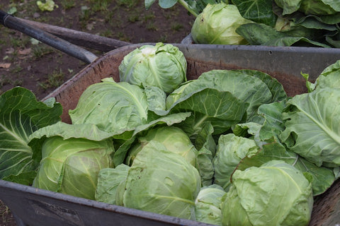 Pests, Diseases, and Common Problems affecting Cabbage