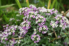 Alyssum Procumbens Royal Carpet Flower Seeds