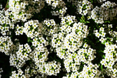 Alyssum Procumbens Snow White Flower Seeds
