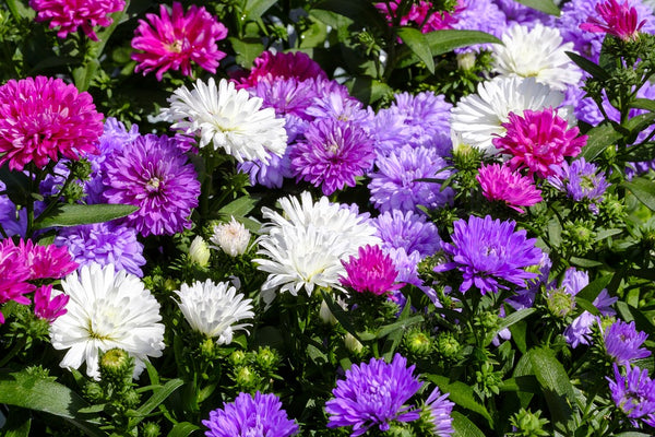 Aster Pompon Mixed Flower Seeds
