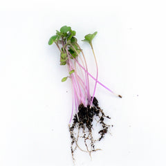 Basil Purple microgreen seeds
