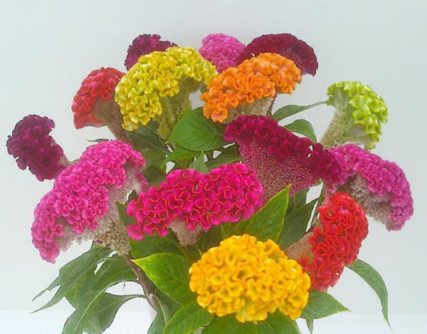 Celosia Cocks Comb Dwarf Seeds