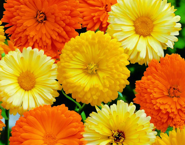 Calendula Officinalis Gitana Mixed Seeds