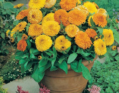 Calendula Officinalis Double Mixed Seeds