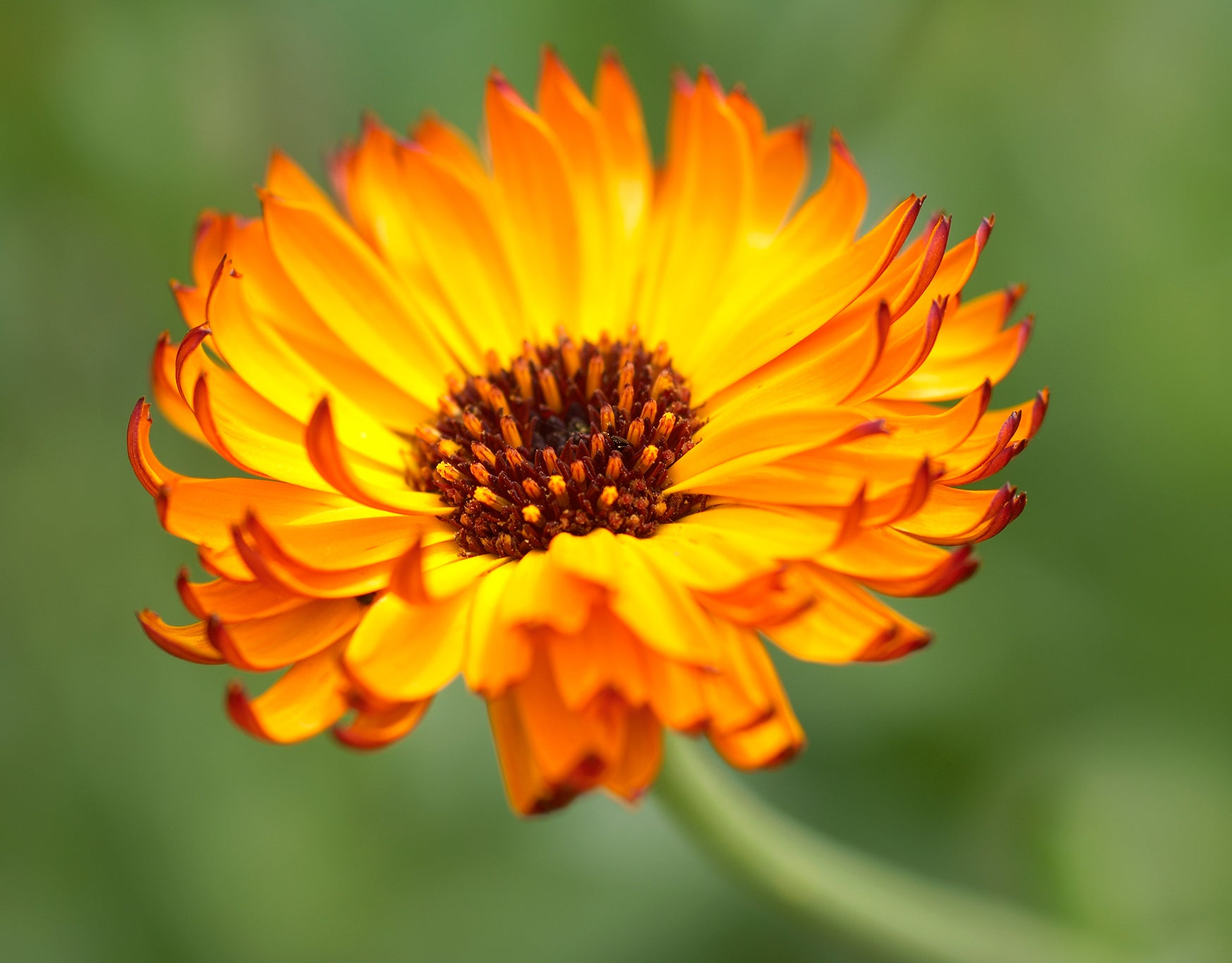 Pure Calendula Officinalis Yellow Flower Seeds At Allthatgrows