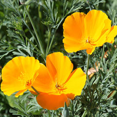 California Poppy Lemon Bush Flower Seeds
