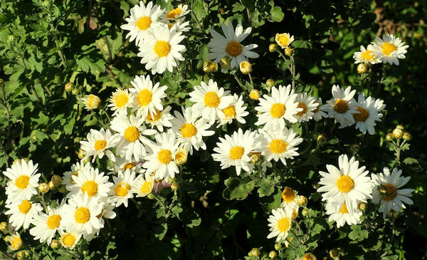 Chrysanthemum Paludosum White Flower Seeds