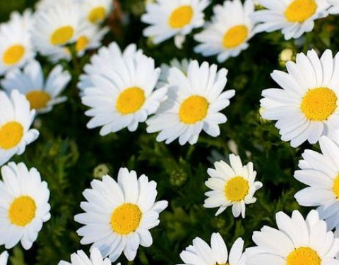 For high quality chrysanthemum white majestic seeds buy here mightylinksfo