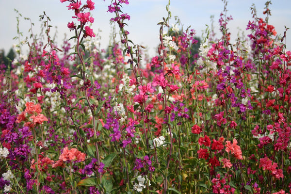 Clarkia Elegans Double Flower Seeds