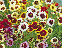 Coreopsis Dwarf Mixed Seeds