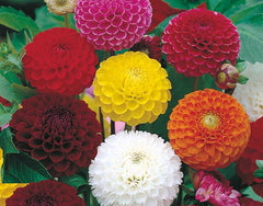 Dahlia Pompon Mixed Seeds