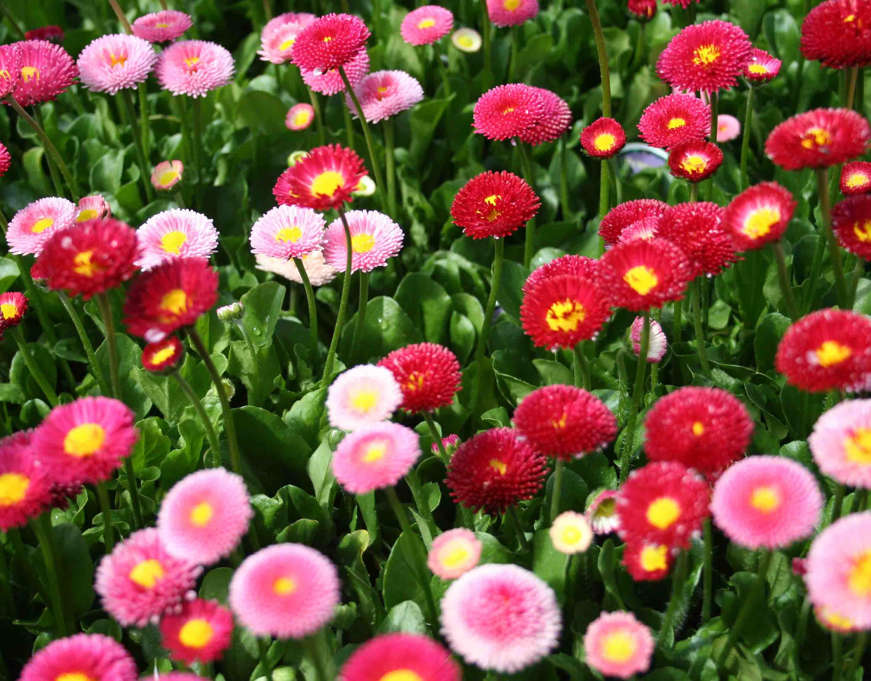 Buy Premium Quality Daisy Double Mixed Seeds At Allthatgrows