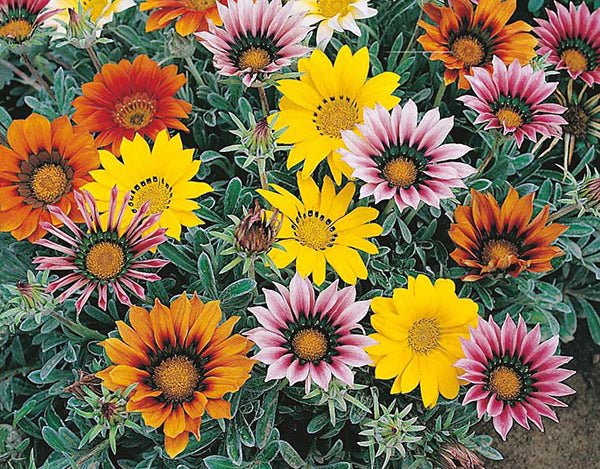 Gazania mixed seeds