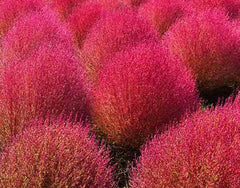 Kochia Burning Bush Seeds