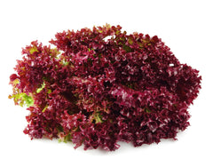 Lollo Red Lettuce Seeds