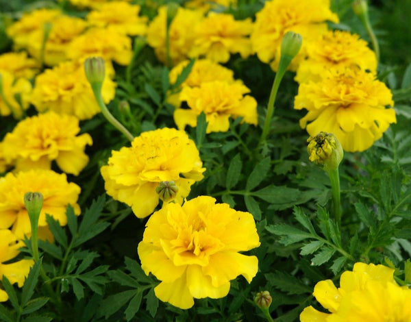 Marigold Gulzafri Yellow Seeds