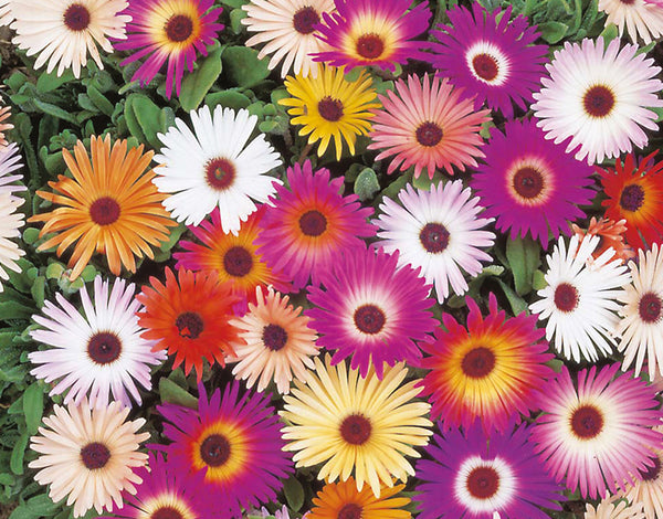 Mesembryanthemum mixed seeds