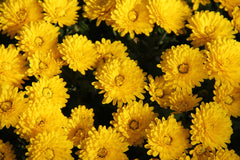 Chrysanthemum Multicaule Golden Yellow Flower Seeds