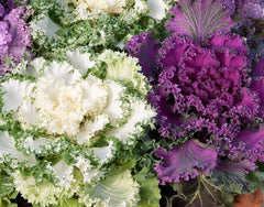 Ornamental Kale Fringed Leaves Mixed Seeds