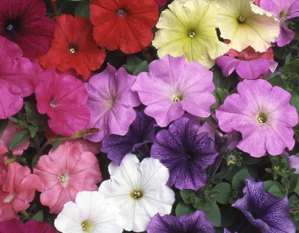 Petunia Nana Compacta Mixed Seeds