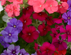 Phlox Drummondii Beauty Mixed Seeds