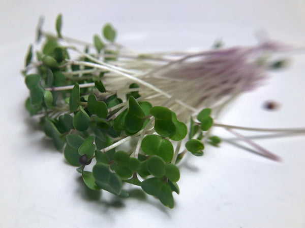 Red Kale Microgreen Seeds