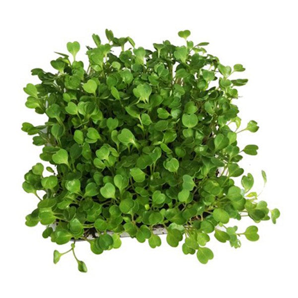 Rocket Microgreen Seeds