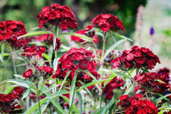 Sweet William Black Prince Flowers