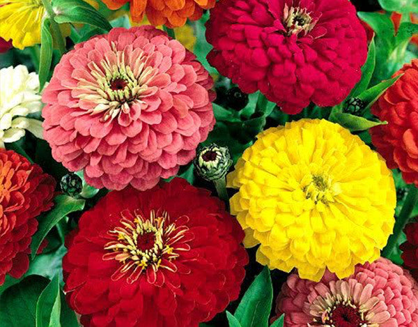 Zinnia Dahlia Double Seeds