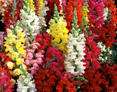 Antirrhinum Dwarf Mixed Seeds