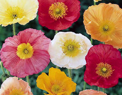 California Poppy Mixed Seeds