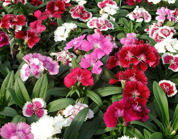 Dianthus Double Mixed Seeds