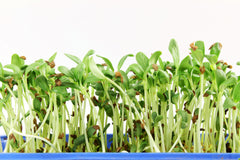 Fenugreek (Metha) Microgreen Seeds