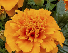 Marigold Gulzafri Orange Seeds