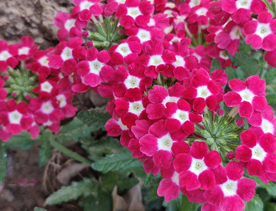 Verbena Red With White Eye