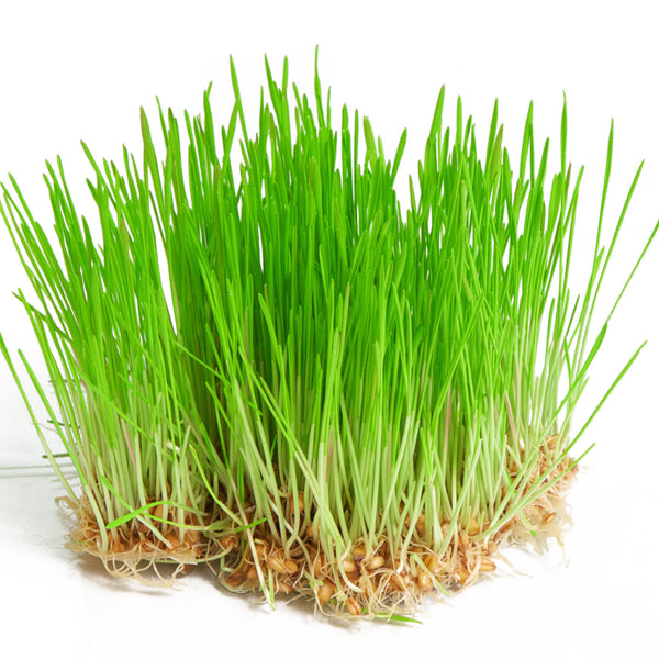 Wheatgrass Microgreen Seeds