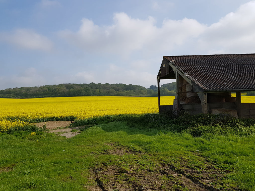 The bright yellow flowers of oilseed rape are a familiar sight in late Spring across the farmland on this route.