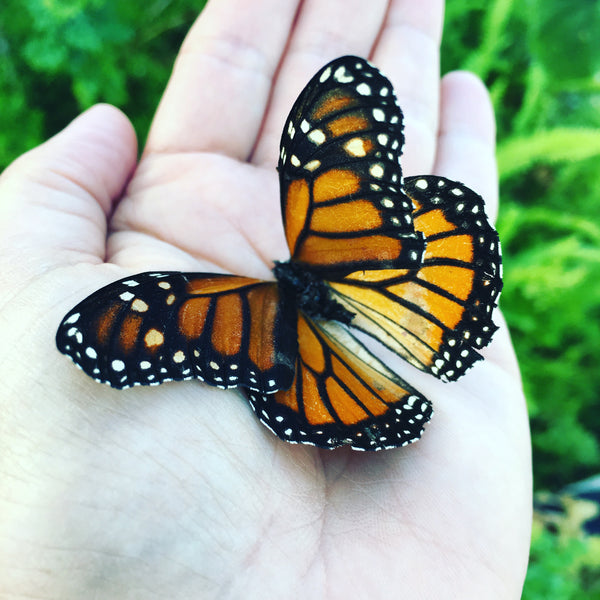 Doing My Part to Save the Monarch Butterfly