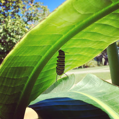 Monarch Preparing for Chrysalis Stage