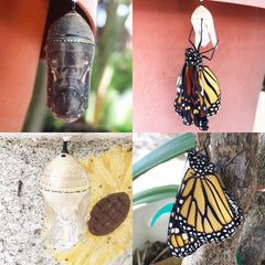 A New Monarch Butterfly Emerges