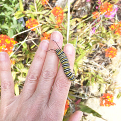 Monarch Caaterpillar
