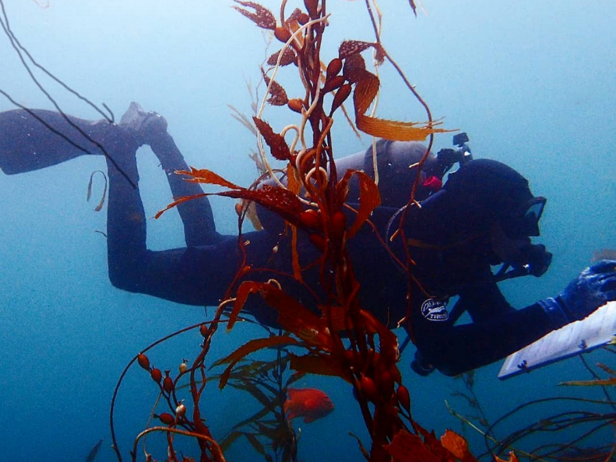 seatrees bay foundation kelp forest regeneration california