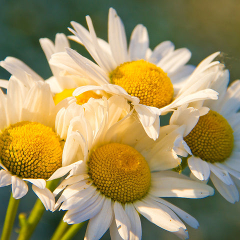 Chamomile Pure Green