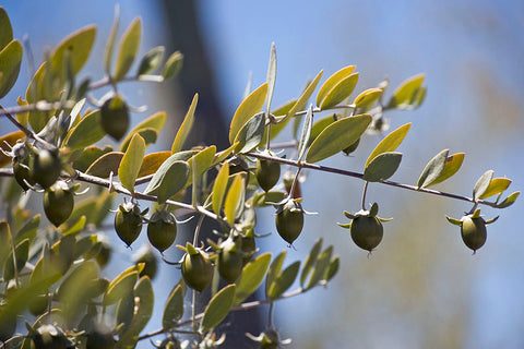 JOJOBA OIL - Simmondsia chinensis