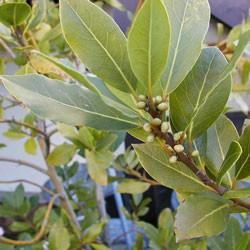 Bay oil (laurel) Botanical name: Laurus nobilis