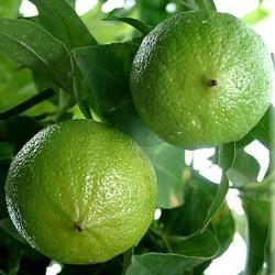 Bergamot oil Botanical name: Citrus bergamia