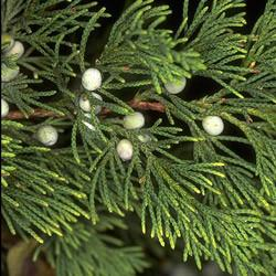 Cedarwood oil (virginian) Botanical name: Juniperus virginiana